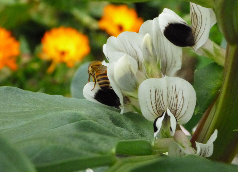 Bee and broad bean